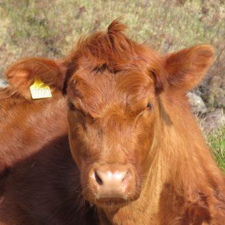 Tierseuchenfall lückenlose Rückverfolgung garantieren – die Schweiz kritisiert den Viehandel für falsche/fehlende Einträge.