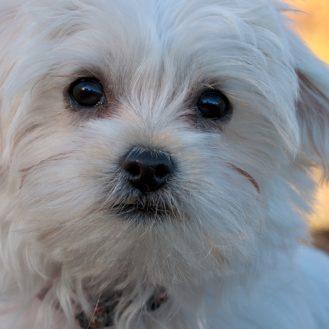 Malteser – ein Hund wie ein kleiner weißer Teddy