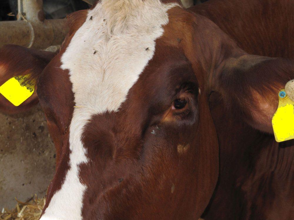 Kuh mit deutlichen Erkrankungsanzeichen