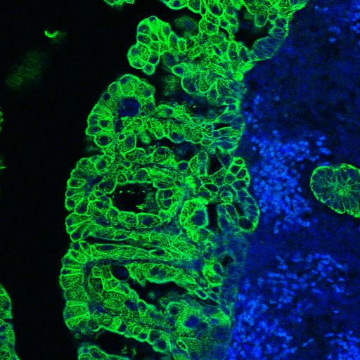 Schaumzellen der Gebärmutterschleimhaut von Hündinnen (grün eingefärbt, mitte) sammeln Fett an und unterstützen mit Leptin eine mögliche Trächtigkeit (blau: anschließende Zellschicht; rechts außen grün: Drüse). (Foto: © Cordula Gabriel / Vetmeduni Vienna)