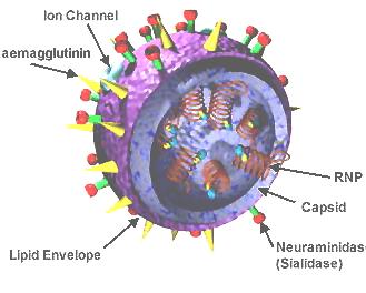 3D-Modell der Inlfuenza-Viren.