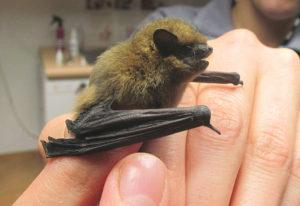 So nicht: Fledermäuse sollte man ausschließlich mit dicken Lederhandschuhen anfassen