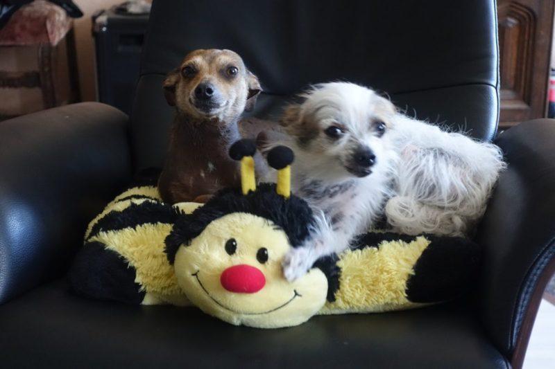 Beißvorfälle mit Familienhunden – häufig unterschätzt wird, dass sich kleine Hunde von Kindern bedrängt fühlen. (Foto: © WiSiTiA/hh)