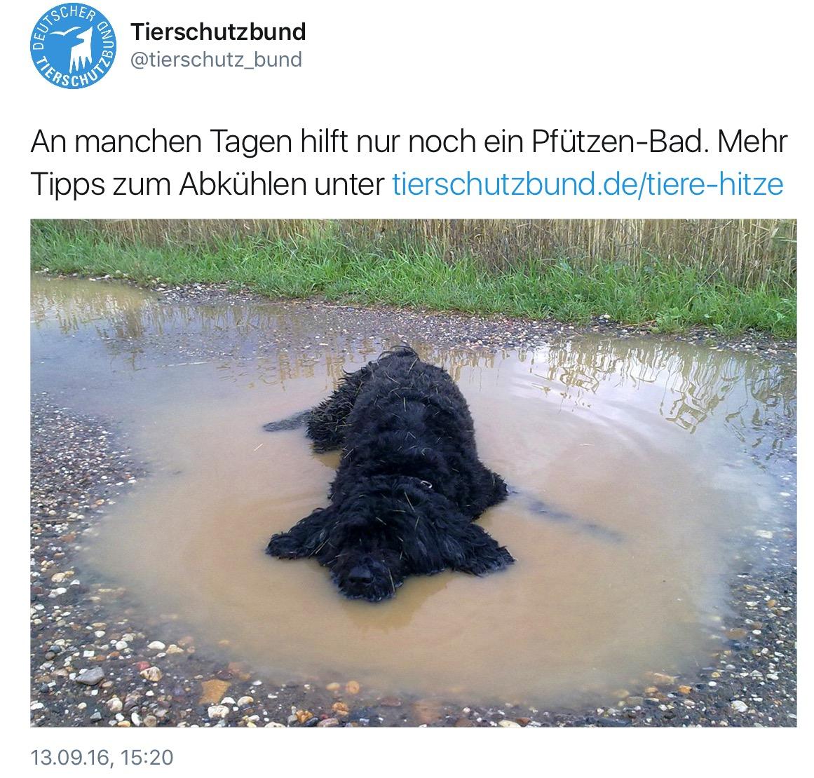 Weil auch Hunde bei Hitze Abkühlung suchen, Pfützen aber ein Leptospriose-Reservoir sein können ist Impfung Pflicht. (Foto: © aktueller Tweet Dt. Tierschutzbund)
