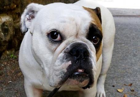 Bulldoggen gehören zu den Rassen mit ausgeprägten Qualzuchtmerkmalen. (Foto: © C. Pfister/BTK)