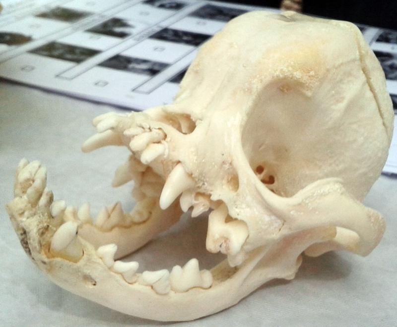 Erkennbar unnatürlich deformiert: Mopsschädel. (Foto: © C. Pfister)