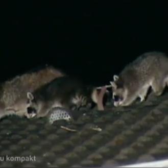 Hessenschau berichtet über sterbende Waschbären in Kassel - und erntet Hass. (Bild: Screenshot Hessenschau)
