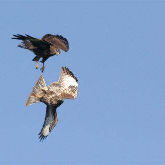 H5N8-Geflügelpest breitet sich unter Wildvögeln aus. Inzwischen sind auch Bussarde als Aasfresser infiziert. Foto: © W.v.Graefe)