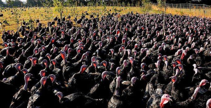 Besonders Nutzgeflügel in Freilandhaltung (hier Puten) ist durch die Vogelgrippe bei Wildvögeln gefährdet. Deshalb gilt regional eine Aufstallpflicht.  (Foto: © © Martin Pettitt / CC 2.0 license)