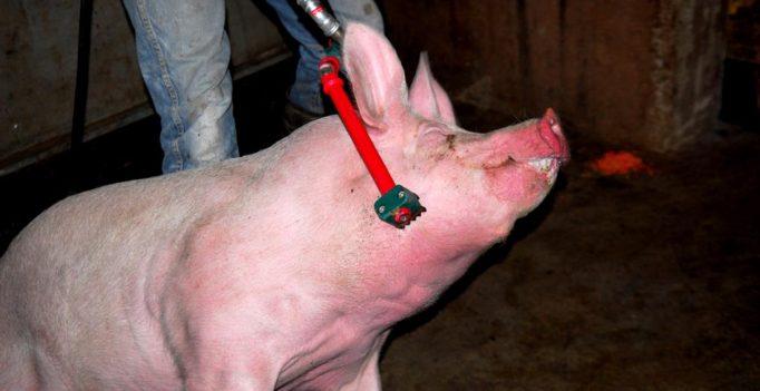 Schlachtung mit Elektrobetäubung (Quelle: Henrik Hofmann 2014)