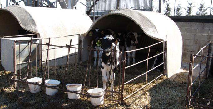 Kälber im Iglu – die sofortige Trennung von Kalb und Kuh ist für viele Verbraucher ein NoGo. (Foto: © WiSiTiA/aw)