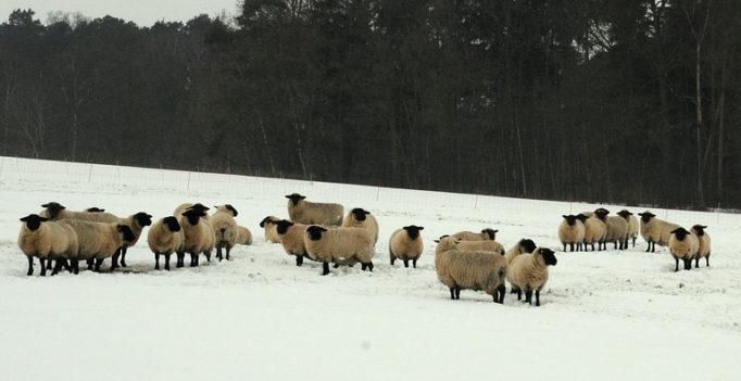 Eiseskälte in der Ablammzeit – Tipps zum Schutz der der Tiere (Foto: © pixabay)