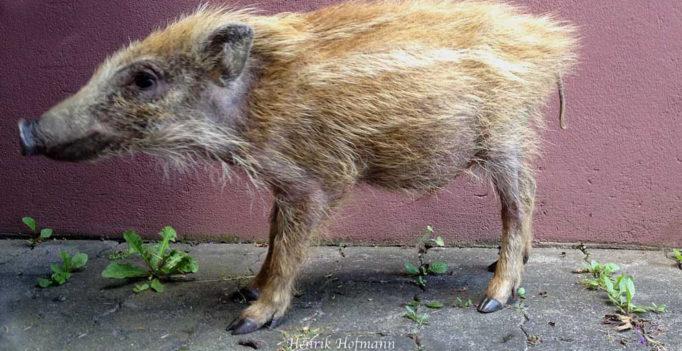 afrikanische Schweinepest tschechische Republik 2017 b