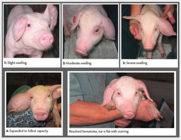 Blutohren bei Schweinen: Besser nicht behandeln