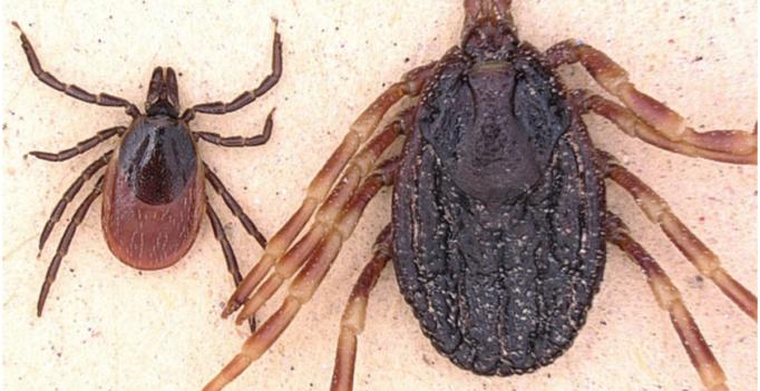 Hyalomma marginatum (r.) im Vergleich zum Gemeinen Holzbock. (Bild: IMB / Lidia Chitimia-Dobler)