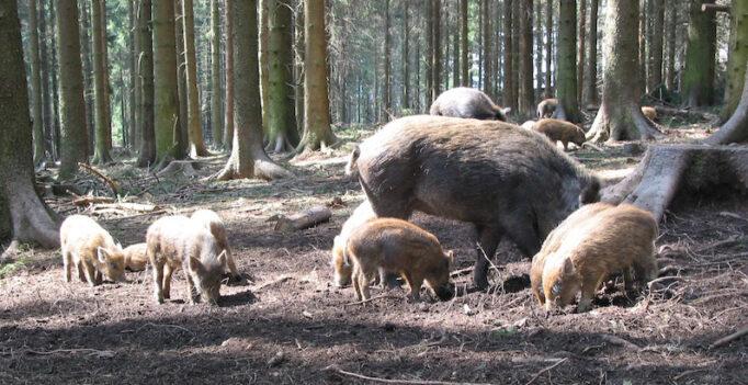 Wildschweinrotte – Symbolfoto Ausbreitung der Afrikanischen Schweinepest