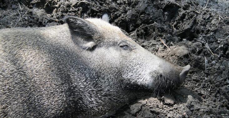 Wildschwein in Suhle / Symbolfoto ASP-Ausbruch