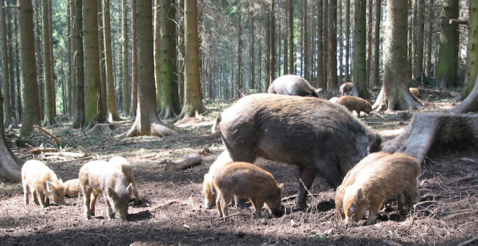 Wildschweinrotte im Wald