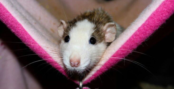 Ratten als Haustiere können Krankheitserreger übertragen. Aktuell musste ein junge nach einer Hantavirusinfektion mit Nierenversagen auf die Intensivstation.